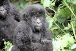 Молодые гориллки.JPG