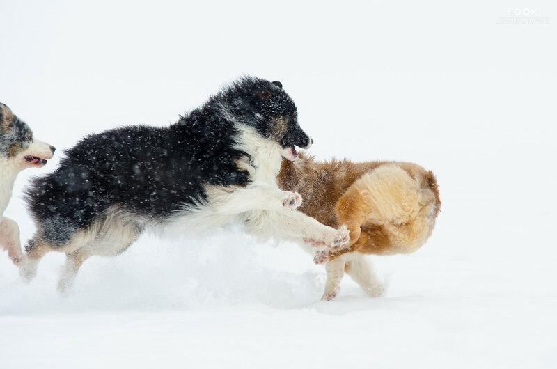Мои собаки: Зена и Шива и их друзья весты - Страница 6 0_a76d8_98a46c69_XL