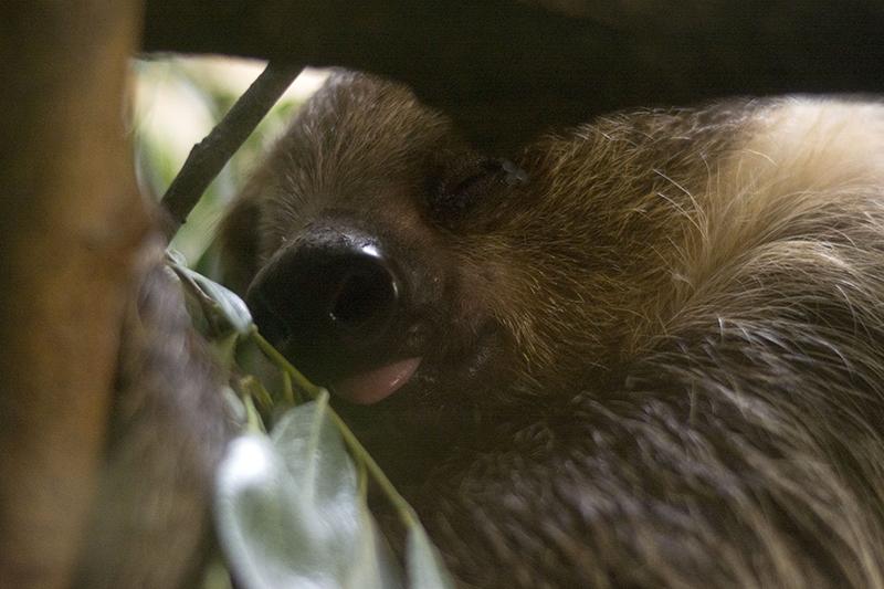 ленивец сладкий сон