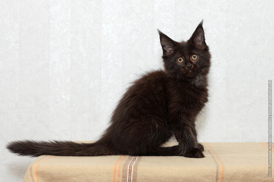 котенок мейн-кун недорого