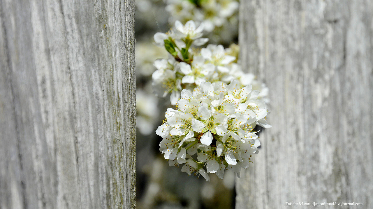 Цветет слива