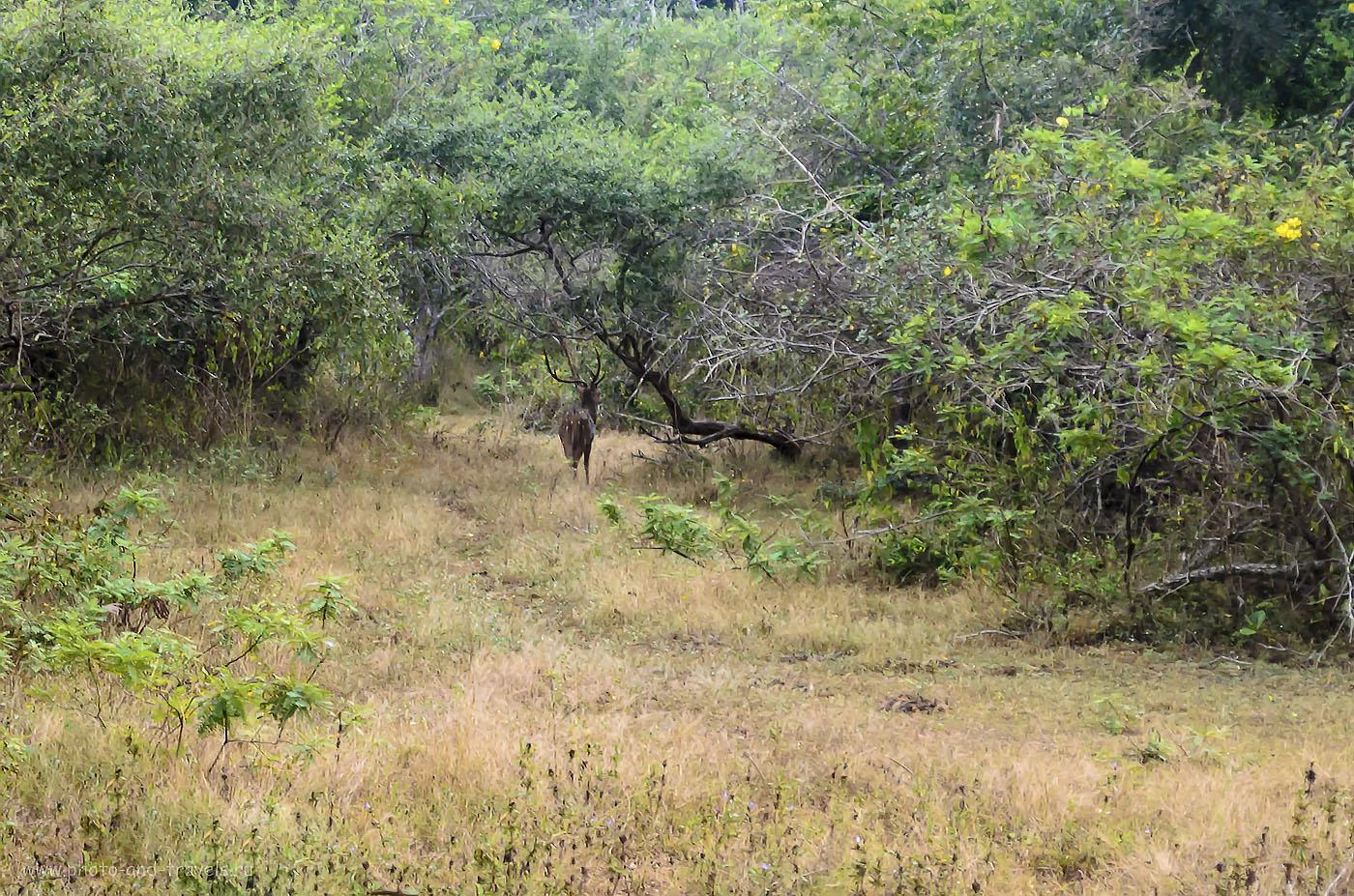 15. Фото. Олень в национальном парке Рухуна (Ruhuna National Park). Фотоохота на Nikon D5100 KIT 18-55. Настройки фотоаппарата: 640, 55, 8.0, 1/125.