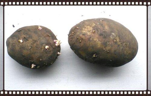 Начало проращивания картофеля.