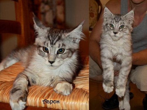 Выпускник кот мейн-кун Aaron of MY GOLDEN DJINNY