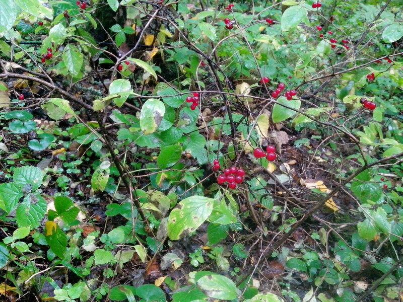 Красные ягоды в лесу