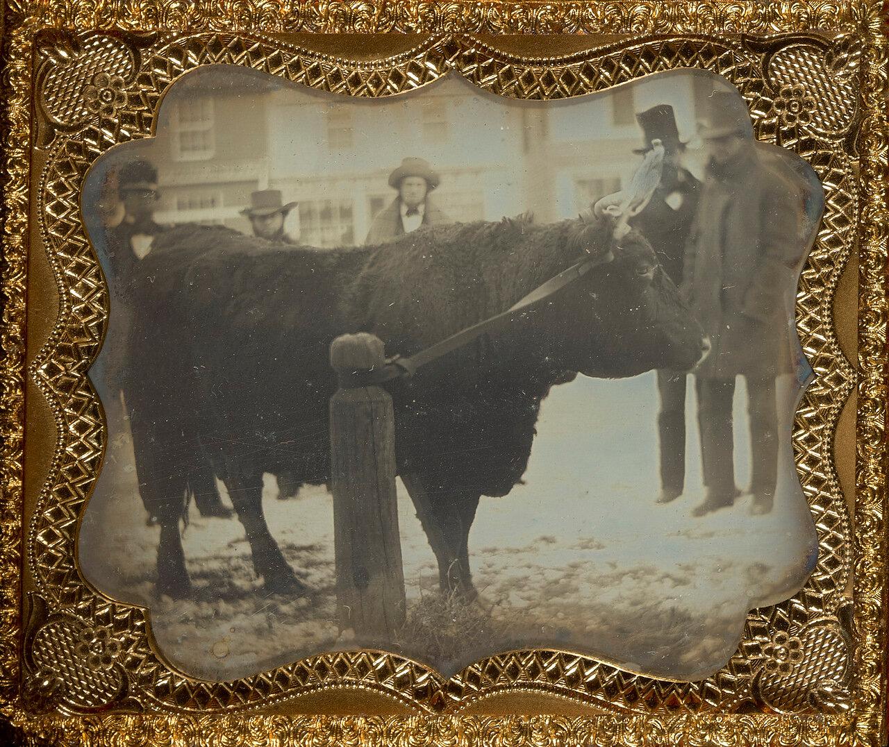 1850. Четверо позируют с быком. США