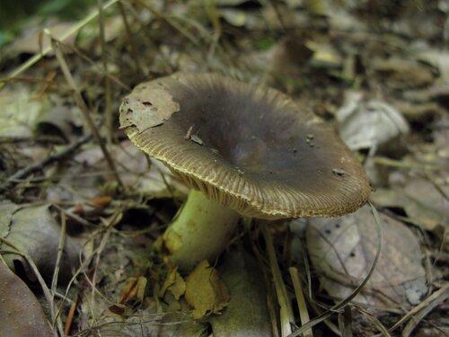 Сыроежка заметная (Russula cf insignis). Автор фото: Станислав Кривошеев