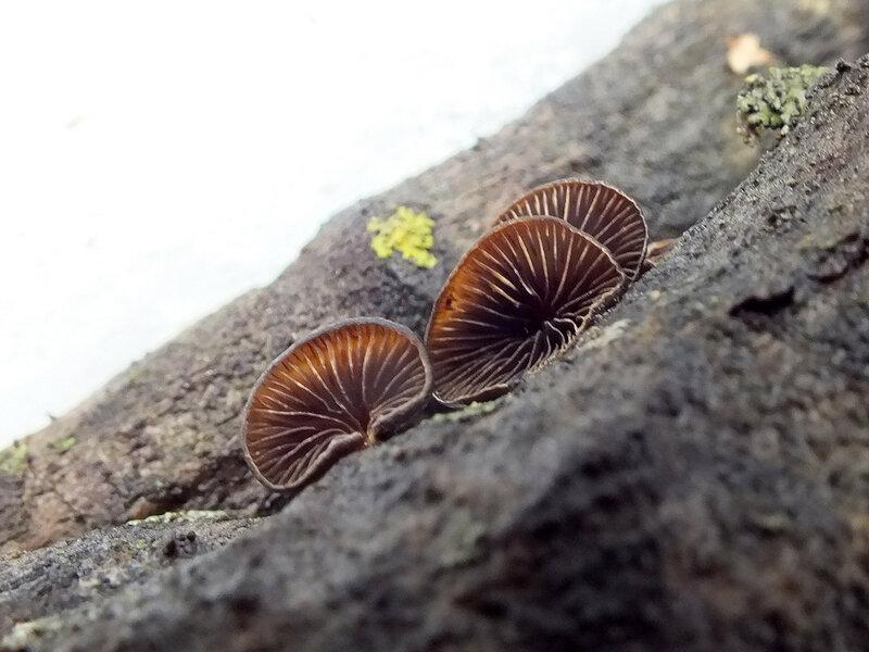 14.01.2015 Hohenbuehelia unguicularis