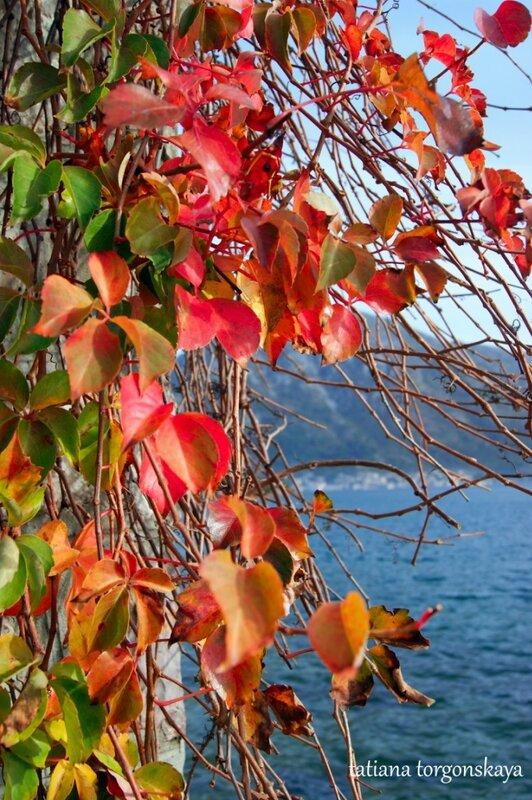 Девичий виноград осенью