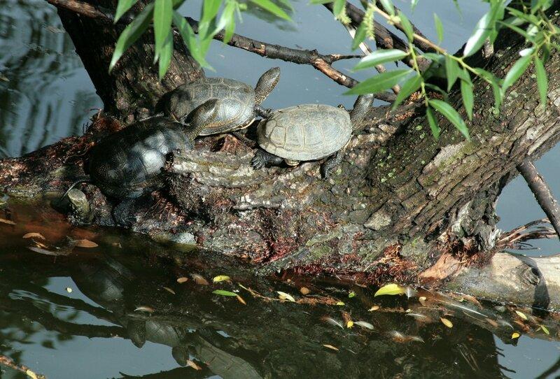 Болотные черепахи