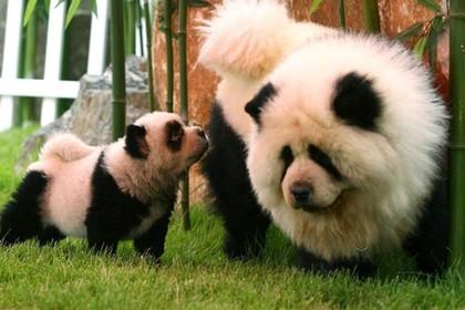 В итальянской Брешии щенков выдали за панд
