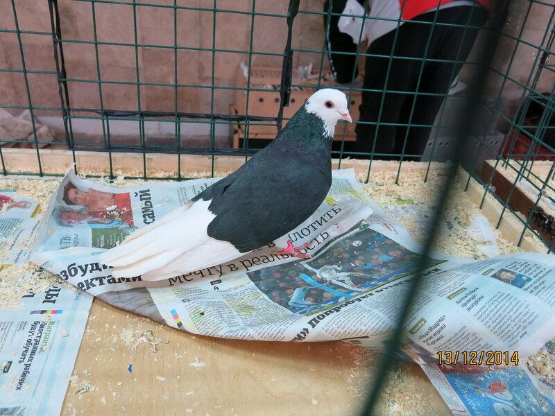 Выставка голубей в москве