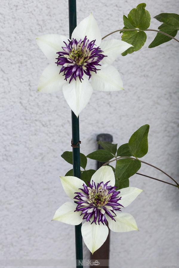 Я люблю все цветы, в5a8ыпуск 129 | Фрезия - цветок аристократов и клематис - «цветок страсти».