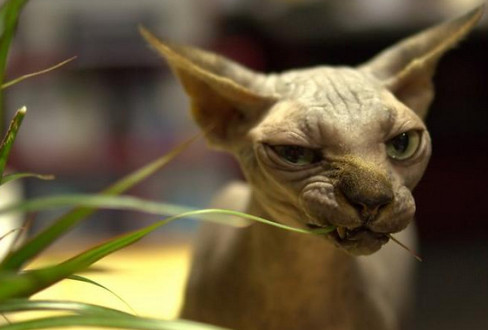 лысый кот.jpg