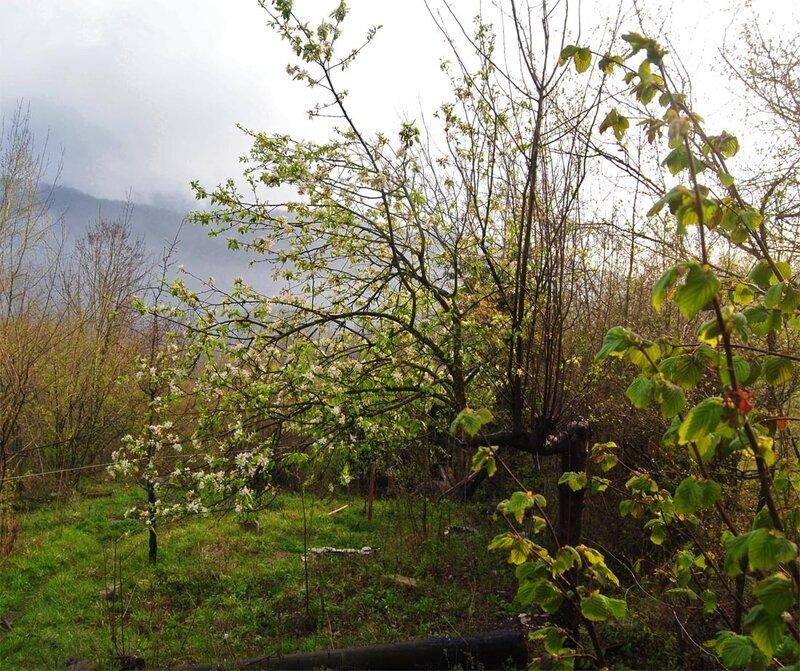 будущие райские яблочки