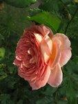 207.JPG Роза.