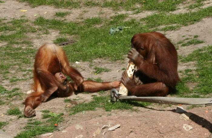 обезьяна пьет свою мочу