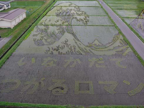 Рисовые поля вЯпонии выглядят вполне обычно. Новот что будет, когда рис взрастет
