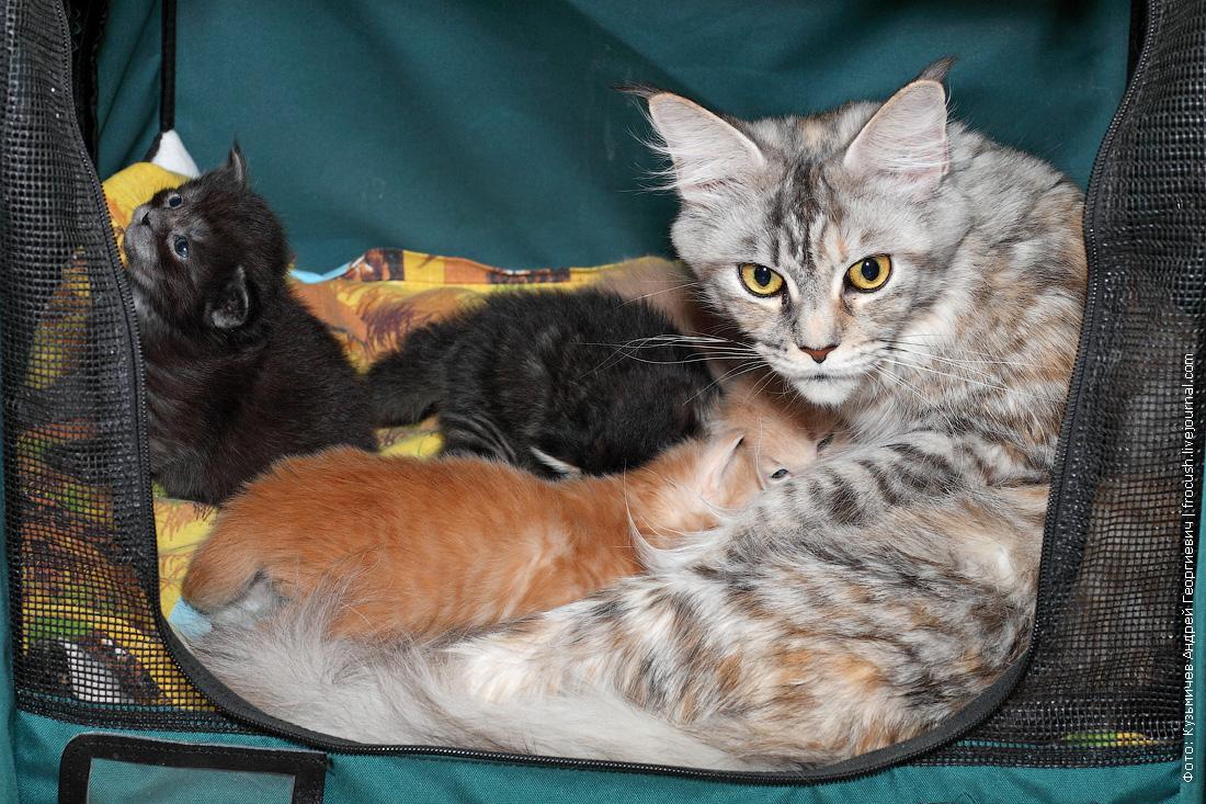 гнездо с двухнедельными котятами Мейн-кун