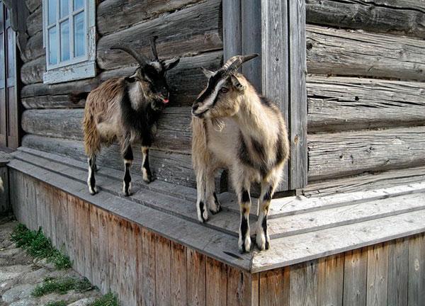коза со странностями