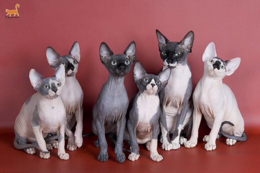 Канадский сфинкс порода кошек