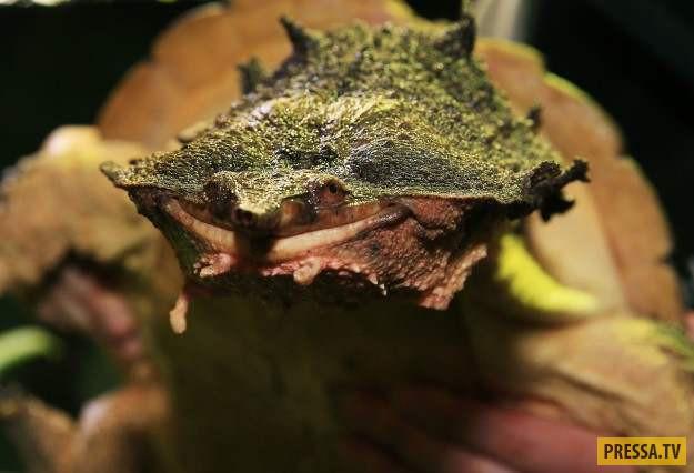 Эта южноамериканская пресноводная черепаха считается одной из самых странных черепах. Необычный вид
