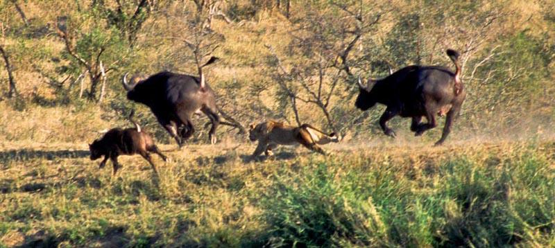 Battle at Kruger No. 410. Львы, буйволы и крокодилы Ну и в заключение, отличное фото, а ниже – виде