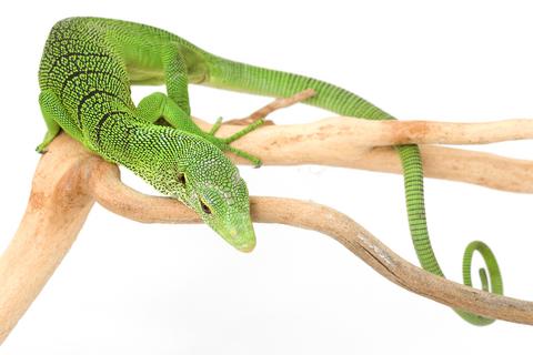 зеленый смарагдовый варан