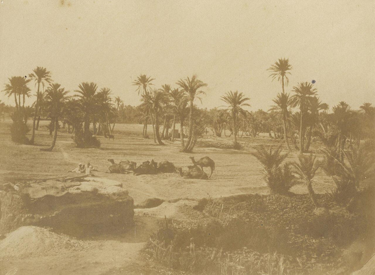 1856-1857. Верблюды (фотограф Феликс-Жак-Антуан Мулен)