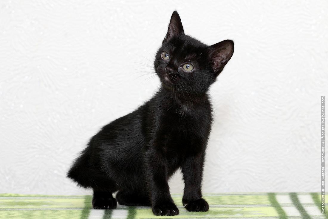 бомбейский котенок купить в Москве из питомника