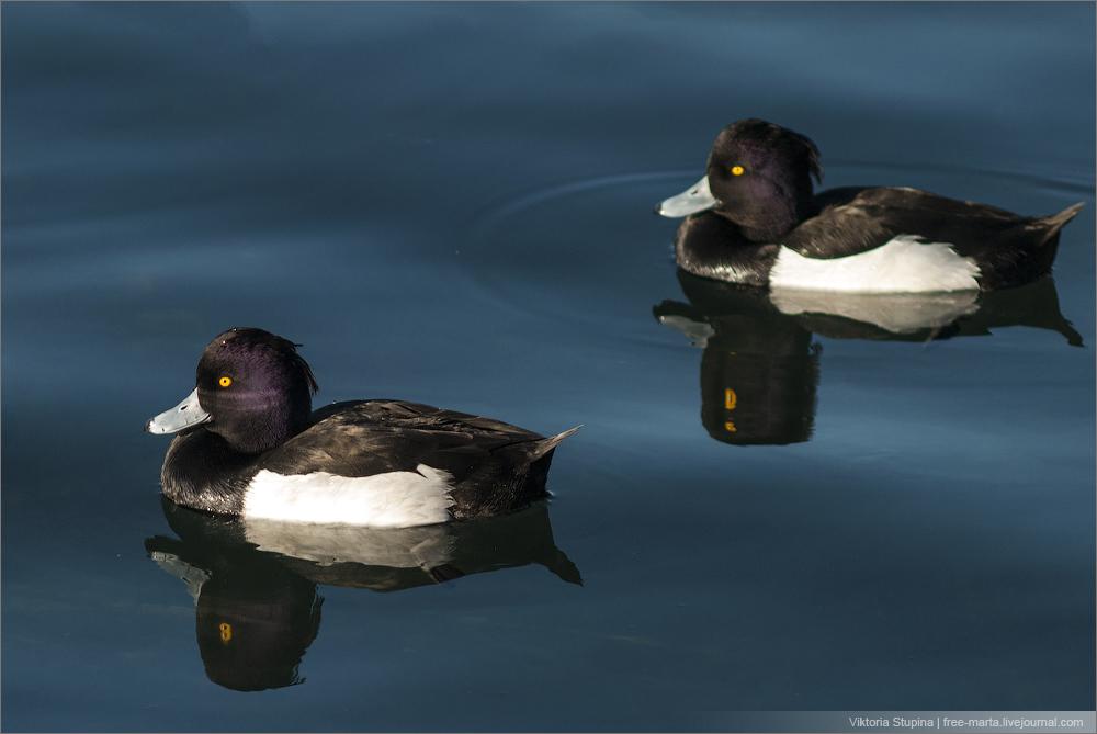 птицы в .отражениях