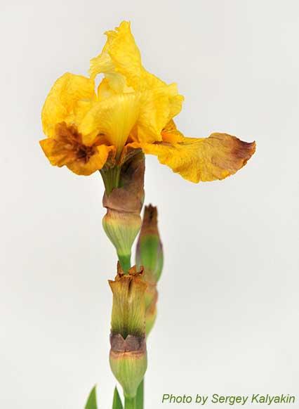 Iris Poivre Rouge (1).JPG