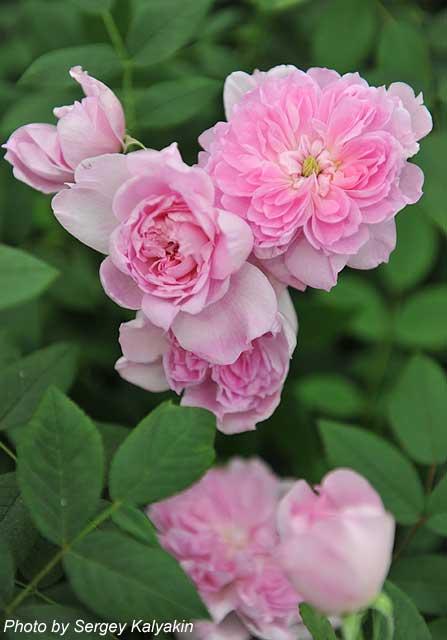 Rosa Sir Walter Scott (2).JPG