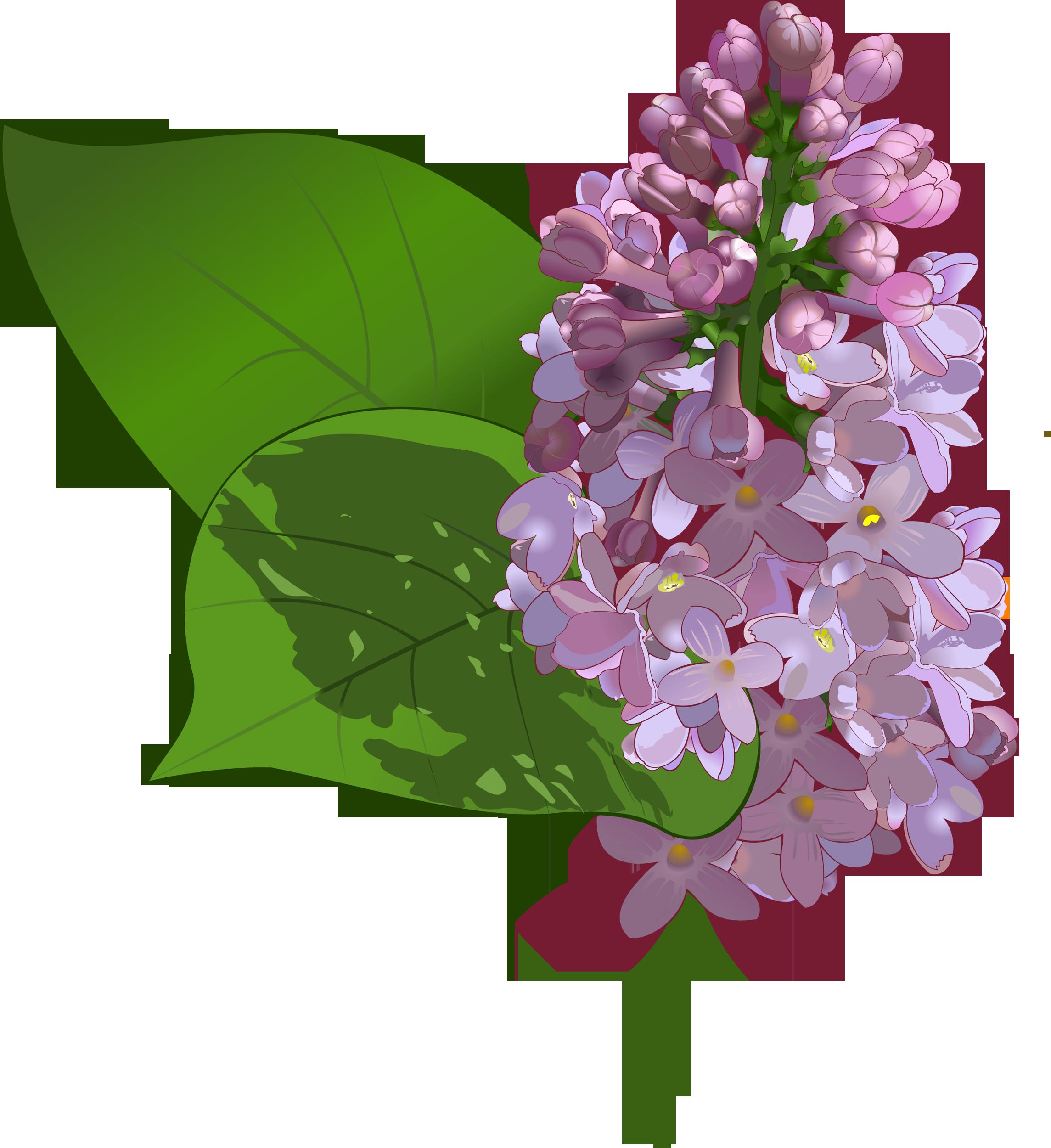 Цветы сирени картинки для детей