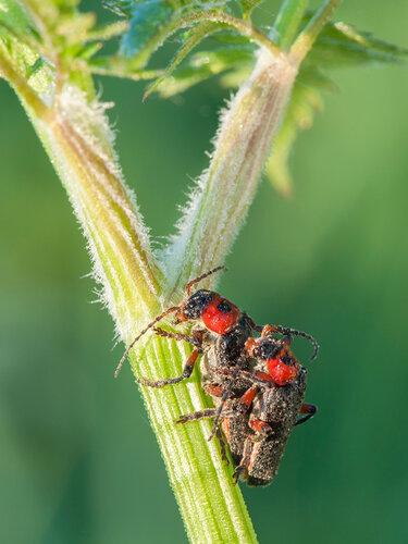 Альбом: Мир под ногами Жесткокрылые Cantharidae - Мягкотелки Автор фото: Владимир Брюхов