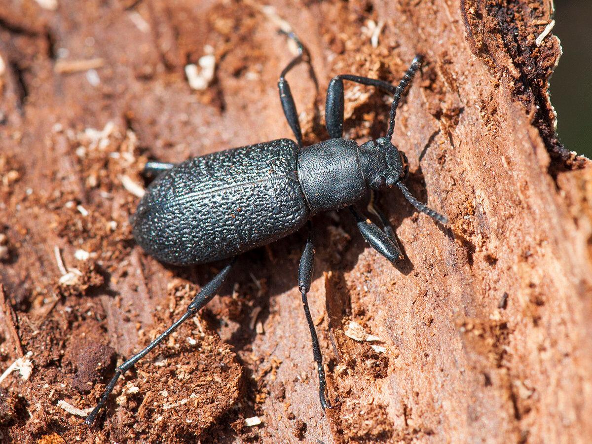 Чернотелка лесная - Upis ceramboides (Tenebrionidae: Tenebrioninae) Автор фото: Владимир Брюхов
