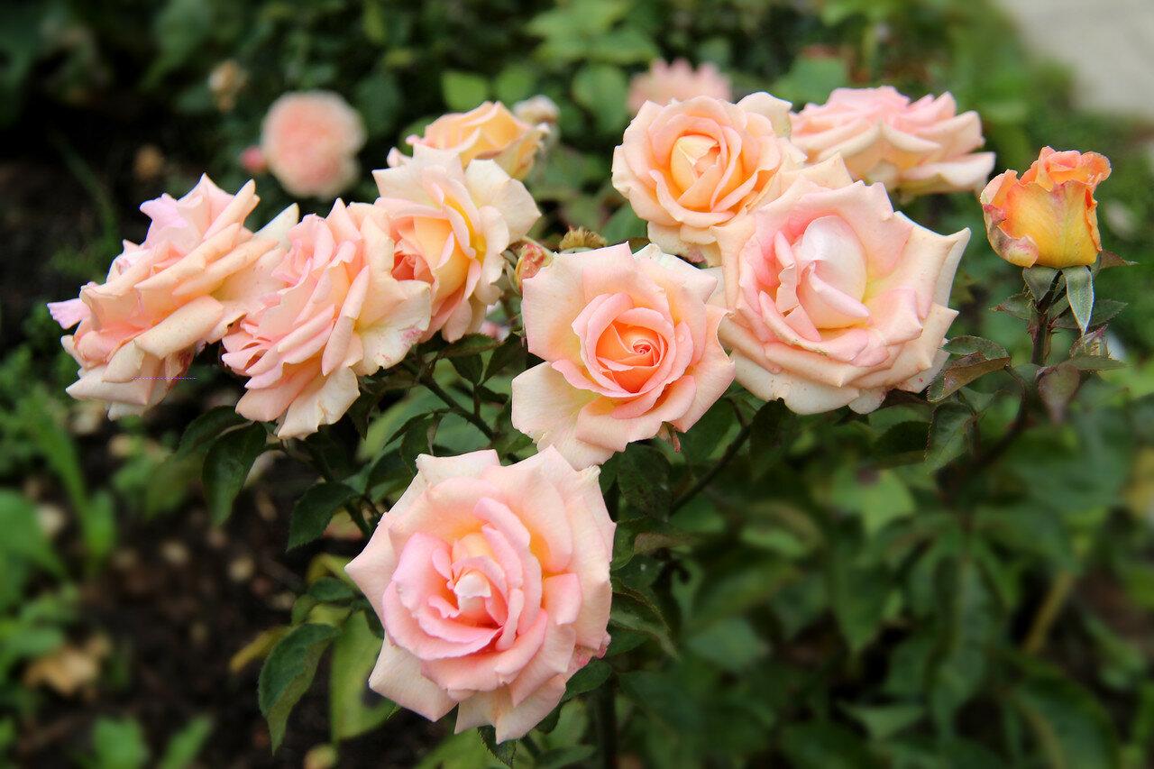 роза монро каталог - 1