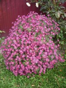 Осенние цветы. Из цветника Елены Николаевны Андриенковой