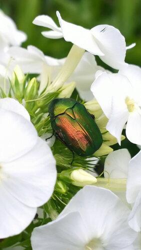 Зелёный  жук