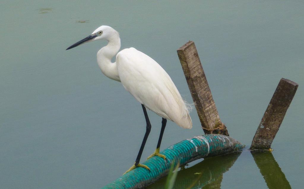 Фотография 10. Белые цапли встречаются повсеместно в Индии и Шри-Ланкею Отзывы туристов об отдыхе в Керале