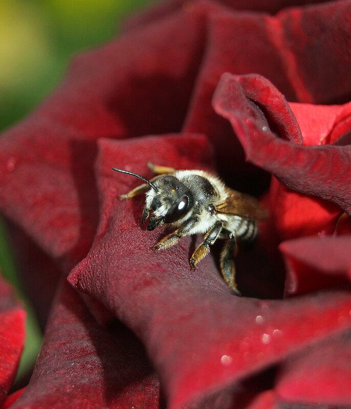 Пчелка и роза