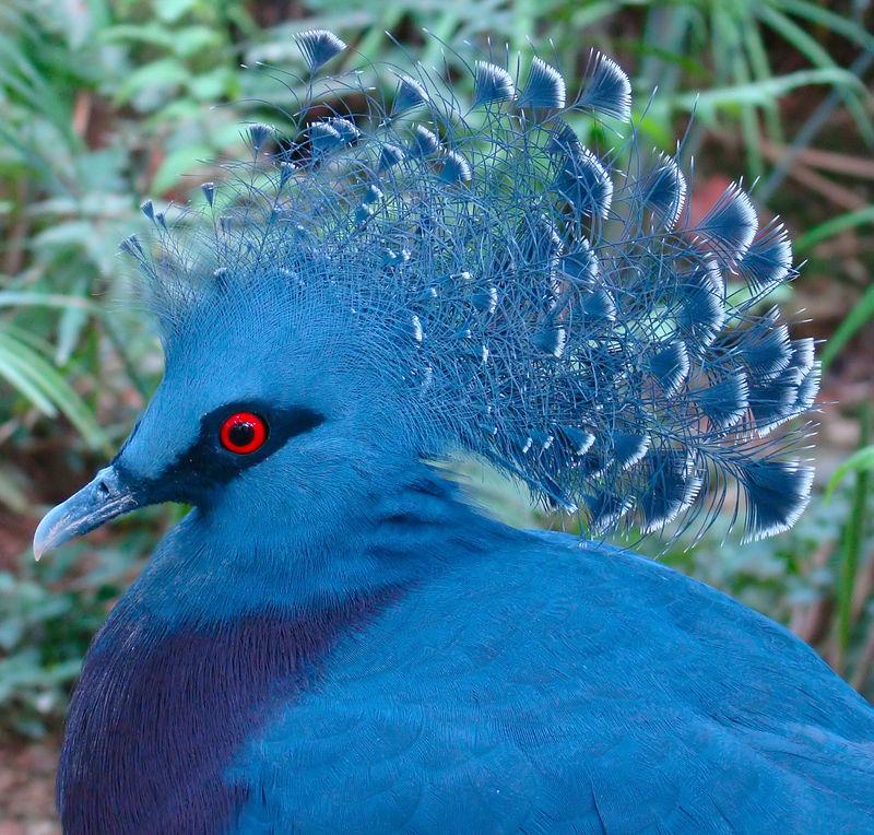 800px-Victoria_Crowned_Pigeon_Jurong.jpg