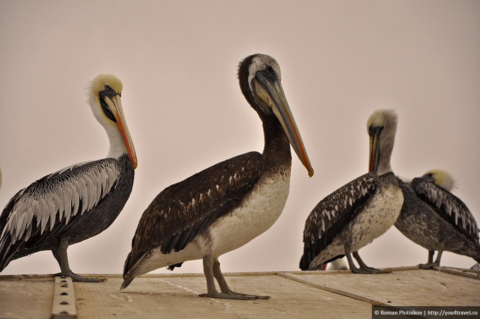 0 161739 32726712 orig Национальный парк Паракас и острова Бальестас в Перу