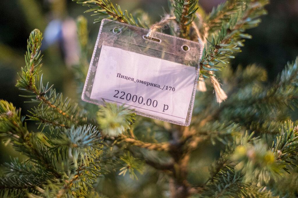 Цены на живые елки в Москве