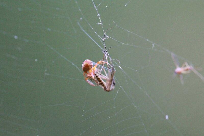паук закутывает в паутинный кокон свою жертву - комара. Видны нити паутины, тянущиеся из паутинных желез на конце брюшка