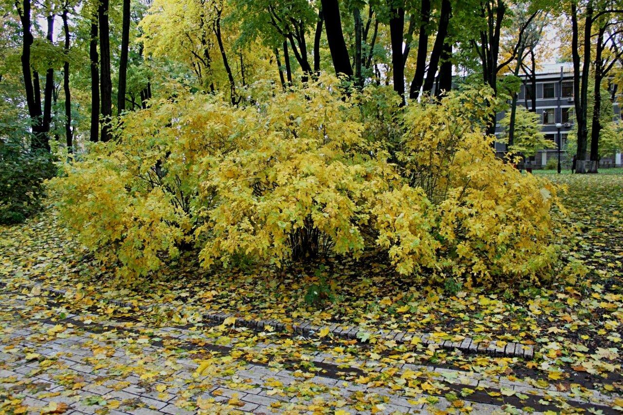 Осенний куст в Мариинском парке