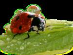 Ladybug1_26.11.png