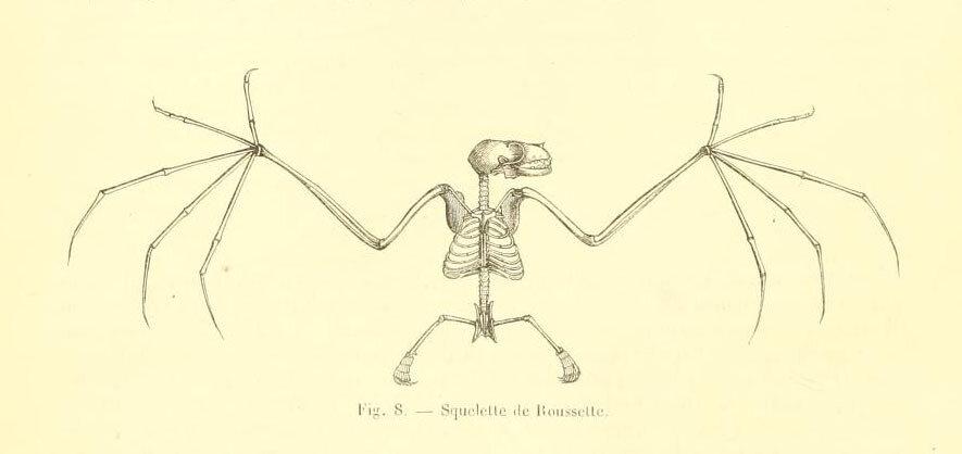 Fig. 8. Bat skeleton.  Encyclopedie d'histoire naturelle. 1850.jpg