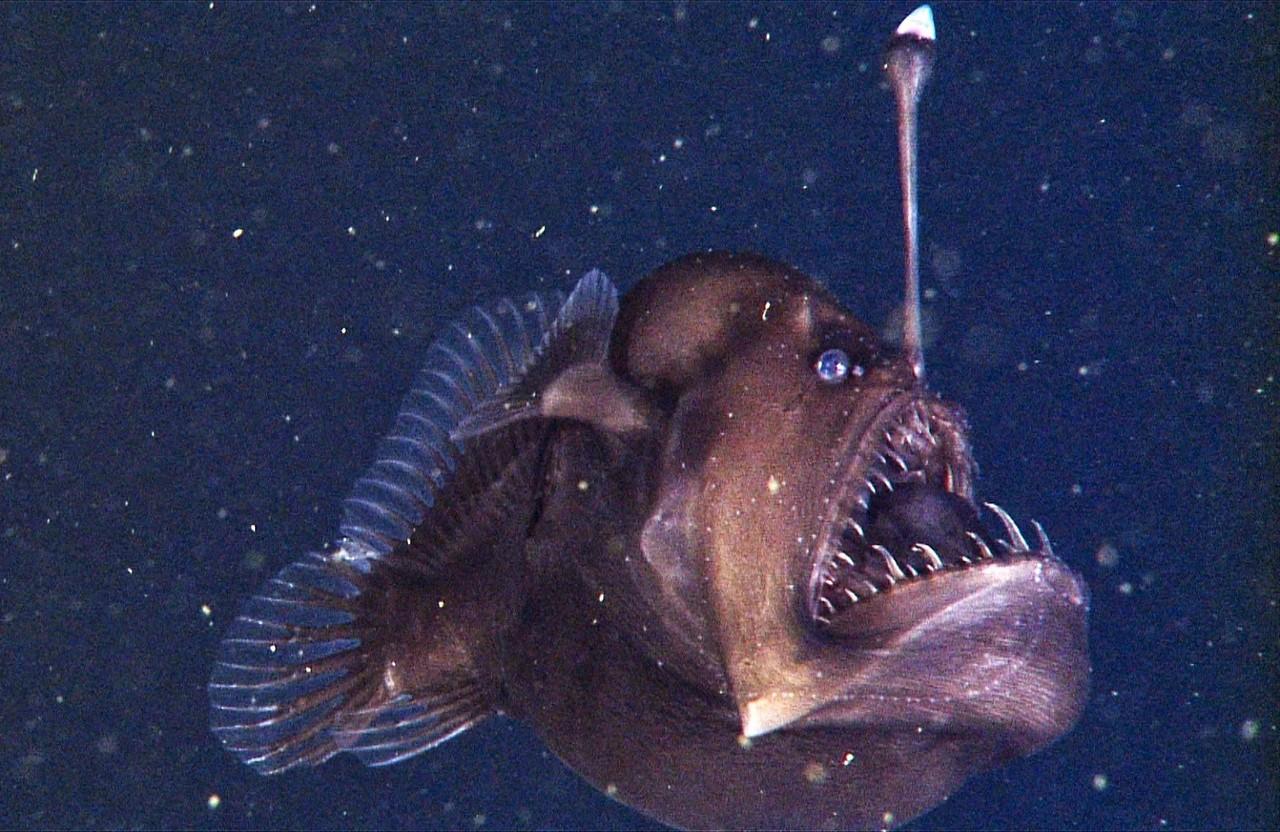 Как женится морской черт морской, может, черта, морского, самки, удильщиков, самец, длиной, называют, время, самка, удильщик, черти, очень, удильщика, самцов, конце, морские, глаза, самца