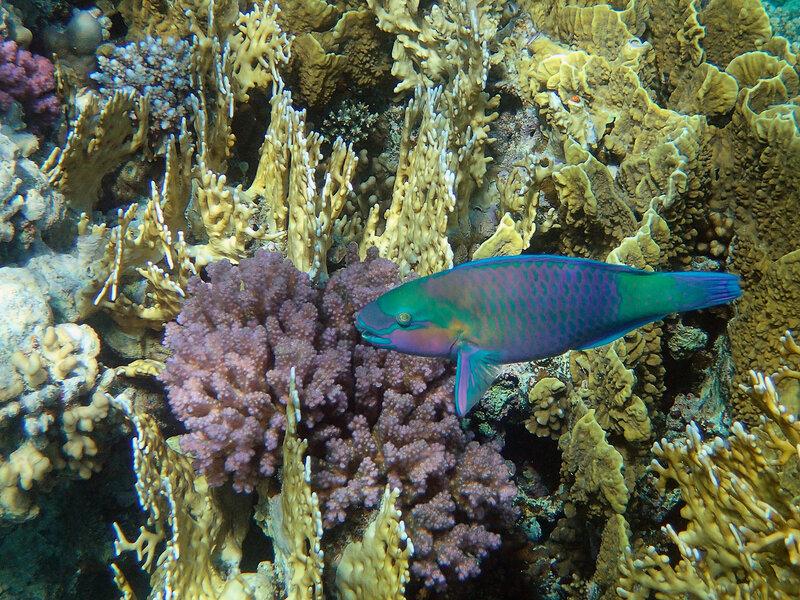 Разноцветная рыба-попугай.